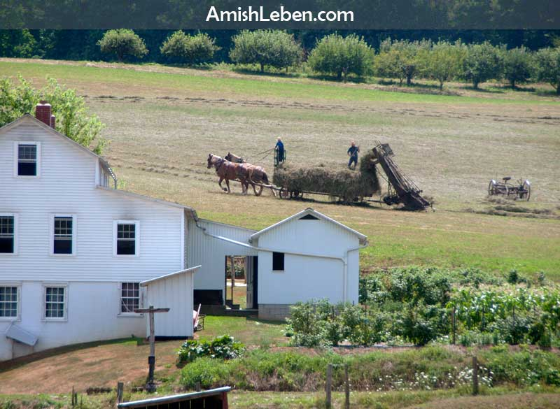 Swartzentruber Amish farmers making hay the old fashioned way